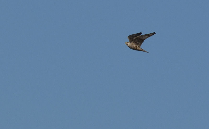 1月中旬 風の強い日は猛禽Day(^^)_b0078795_16213932.jpg