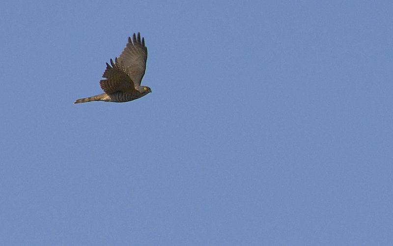 1月中旬 風の強い日は猛禽Day(^^)_b0078795_16235817.jpg