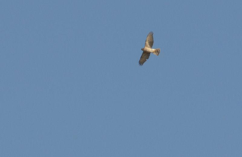 1月中旬 風の強い日は猛禽Day(^^)_b0078795_1624589.jpg
