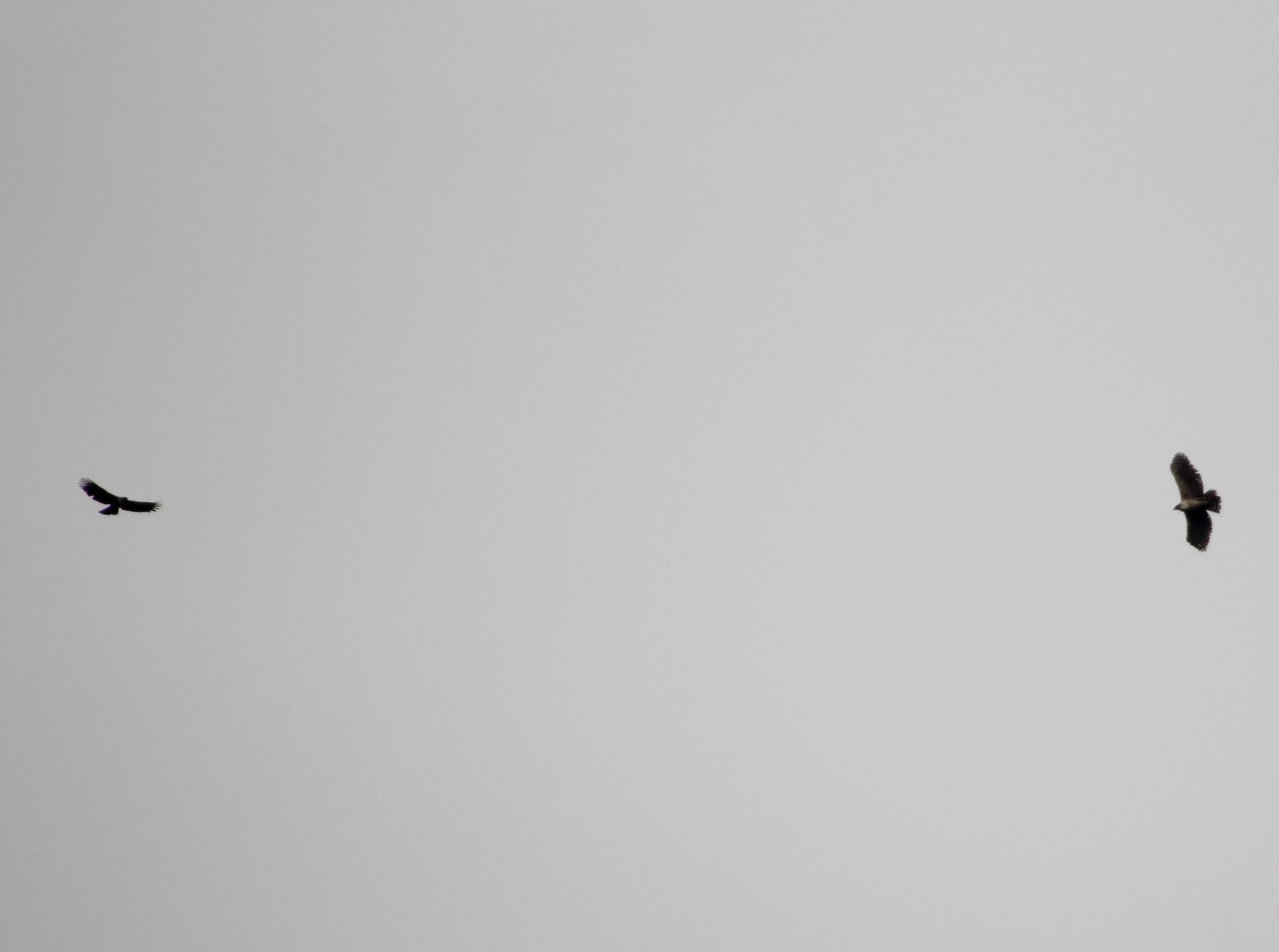 2013.1.21 丹沢湖のクマタカの個体識別_c0269342_2135917.jpg