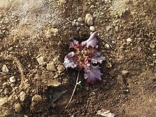 春を待つ、野菜の苗たち...._b0137932_2011156.jpg