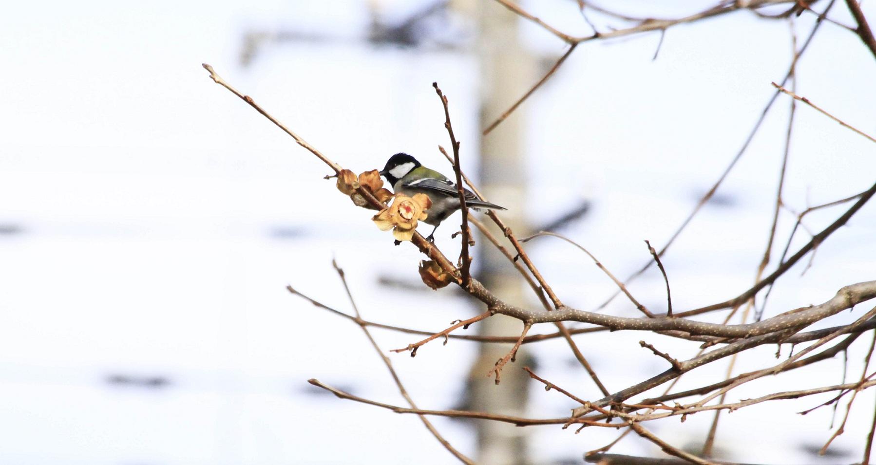 柿ノ木に遊びに来た四十雀_a0107574_10303728.jpg