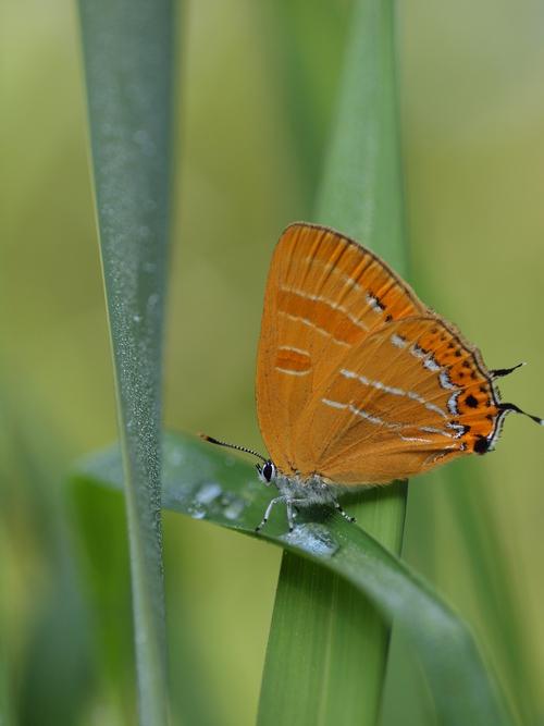 過去の写真からー6月の蝶1-_e0305074_23384784.jpg