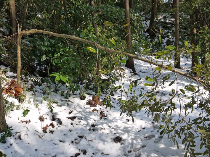もはや限界点?大雪により六国見山で夥しい数のスギ倒木_c0014967_17162952.jpg