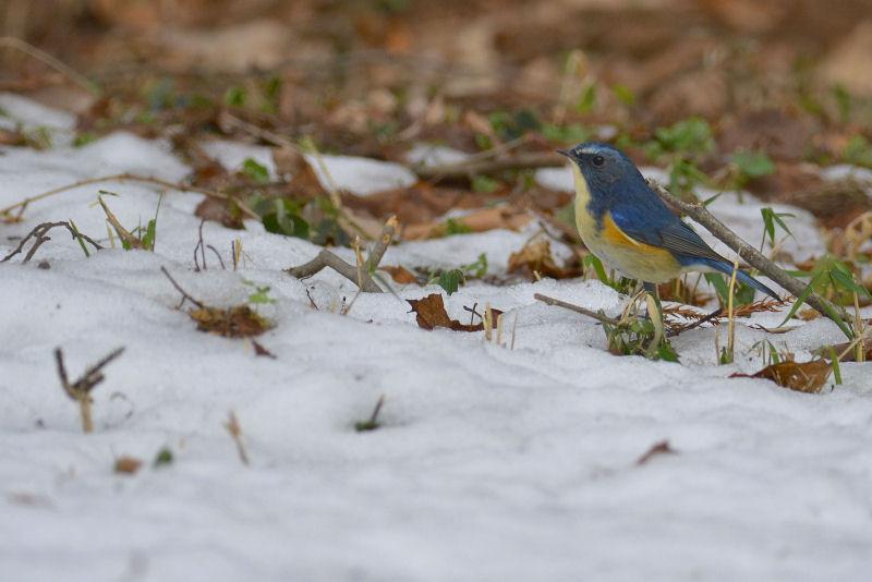 1月下旬 残雪の中の青・・・_b0078795_14211643.jpg