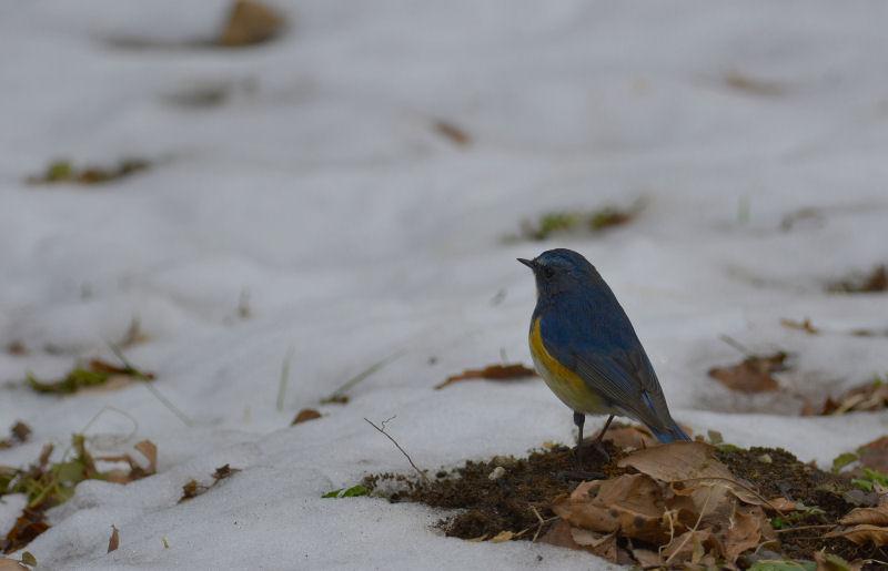1月下旬 残雪の中の青・・・_b0078795_1421254.jpg