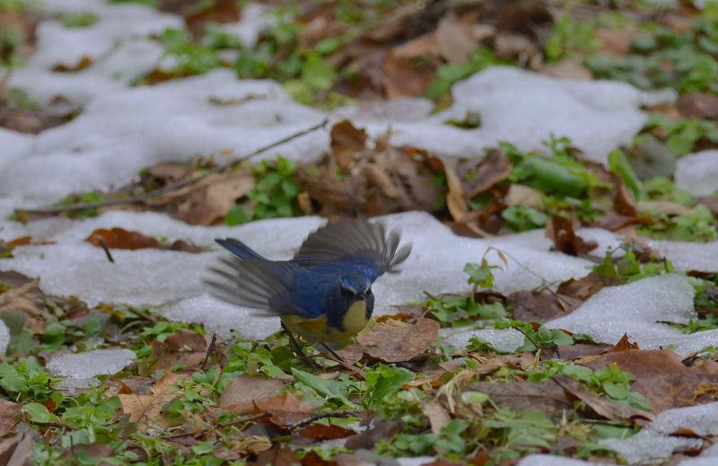 1月下旬 残雪の中の青・・・_b0078795_14213947.jpg