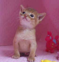 アビシニアン子猫 家族募集 _e0033609_19103639.jpg
