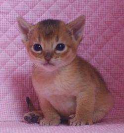 アビシニアン子猫 家族募集 _e0033609_19124681.jpg