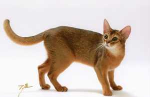 アビシニアン子猫 家族募集 _e0033609_19134869.jpg
