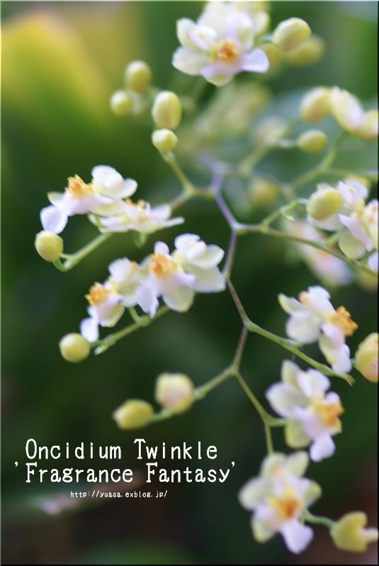 オンシジウム_f0156117_22313159.jpg