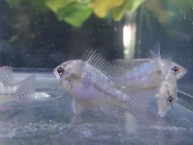 130124 海水魚・熱帯魚・水草_f0189122_12512163.jpg