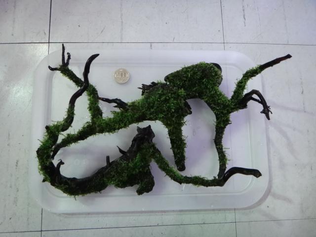 130124 海水魚・熱帯魚・水草_f0189122_12533528.jpg