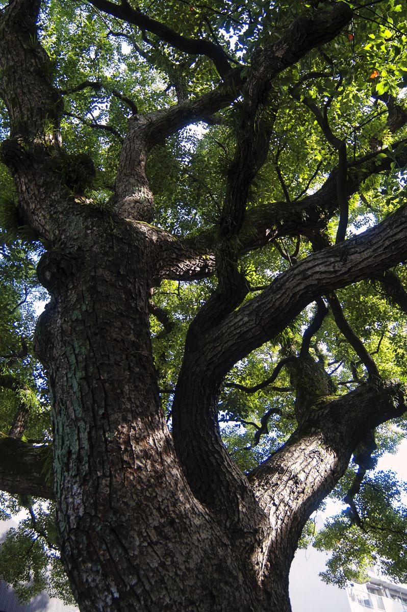 今は無き小倉の「保存樹」樅の木_c0028861_138382.jpg