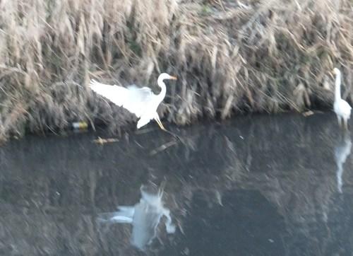 水鳥は寒くても元気.....河川散歩!_b0137932_9451749.jpg