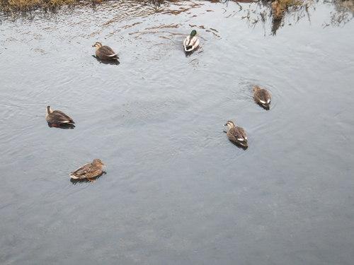 水鳥は寒くても元気.....河川散歩!_b0137932_95137.jpg