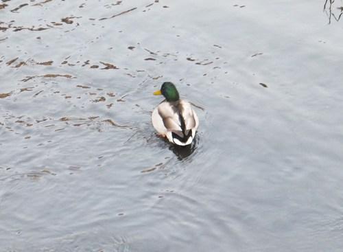 水鳥は寒くても元気.....河川散歩!_b0137932_958479.jpg