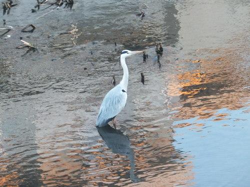 水鳥は寒くても元気.....河川散歩!_b0137932_963444.jpg