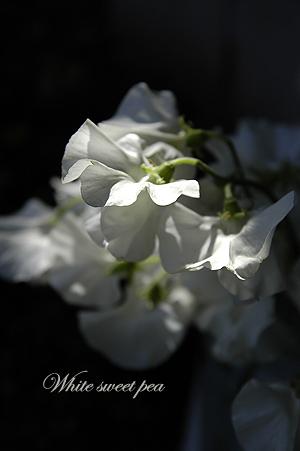 純白のスイートピー_c0070460_11354138.jpg