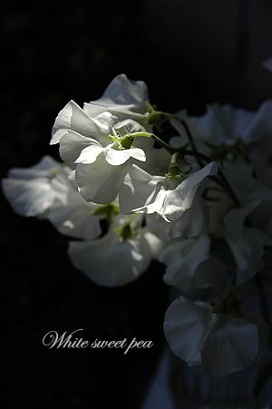 純白のスイートピー_c0070460_11355131.jpg