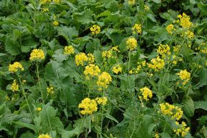 菜の花のある風景_c0034228_18341811.jpg