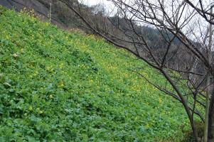 菜の花のある風景_c0034228_1834232.jpg