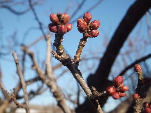春は近い....もうすぐ梅の花が咲く!_b0137932_12342087.jpg