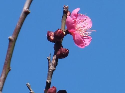 春は近い....もうすぐ梅の花が咲く!_b0137932_12345726.jpg