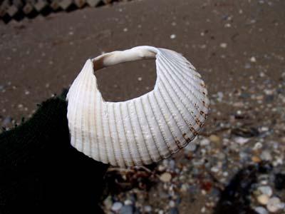 貝輪を探る・4_c0019338_1584417.jpg