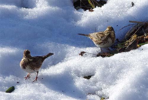 雪と小鳥_e0167571_22534286.jpg