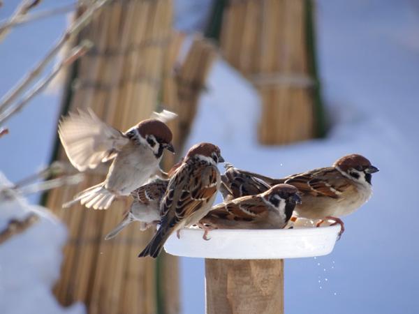 この頃の雀ちゃん、餌台を高くすること・・_a0136293_15515523.jpg