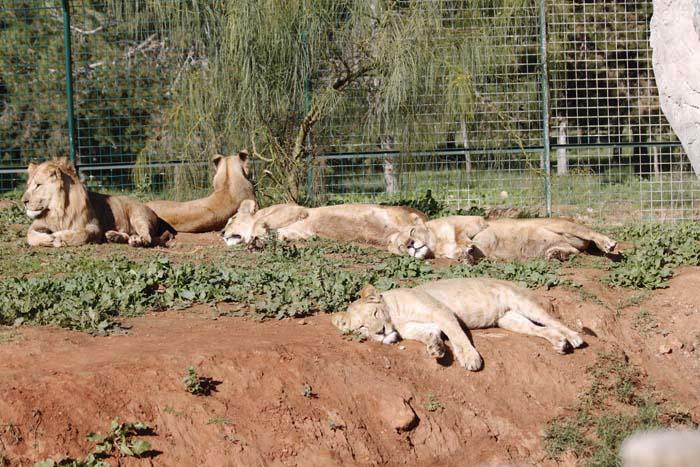 動物園の猫族たち_e0092286_036278.jpg