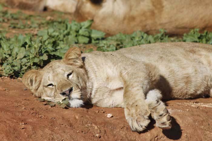 動物園の猫族たち_e0092286_041970.jpg