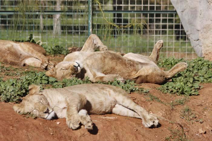 動物園の猫族たち_e0092286_0431055.jpg