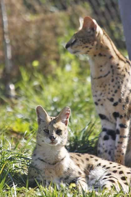 動物園の猫族たち_e0092286_175328.jpg