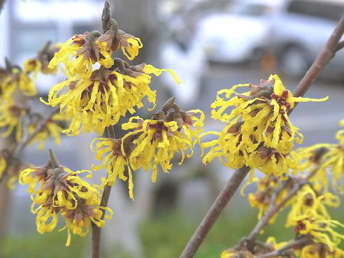 早春の花:山茱萸、黄梅、満作_c0192215_9144697.jpg
