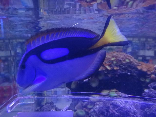 130130 海水魚・サンゴ・水草・淡水魚_f0189122_12379100.jpg