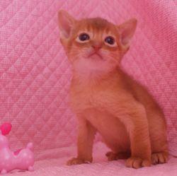 アビシニアン子猫 家族募集 _e0033609_16461461.jpg