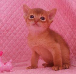 アビシニアン子猫 家族募集 _e0033609_16464937.jpg