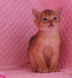 アビシニアン子猫 家族募集 _e0033609_16473292.jpg