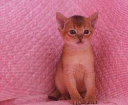 アビシニアン子猫 家族募集 _e0033609_1648911.jpg