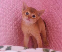 アビシニアン子猫 家族募集 _e0033609_16511669.jpg