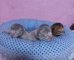 アビシニアン子猫 家族募集 _e0033609_1654128.jpg