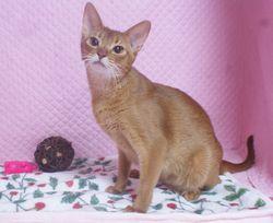アビシニアン子猫 家族募集 _e0033609_16542387.jpg