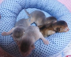 アビシニアン子猫 家族募集 _e0033609_1654931.jpg