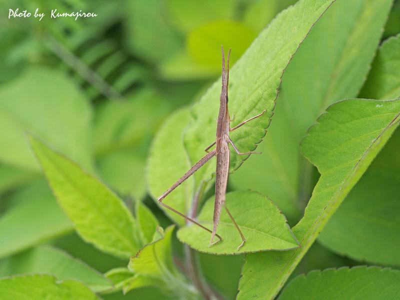 ぶらり昆虫写真_b0192746_19293346.jpg