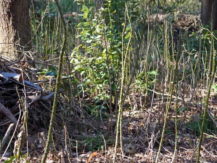 杉林のカラスザンショウの刈り取りほぼ終了1・30六国見山_c0014967_8385347.jpg