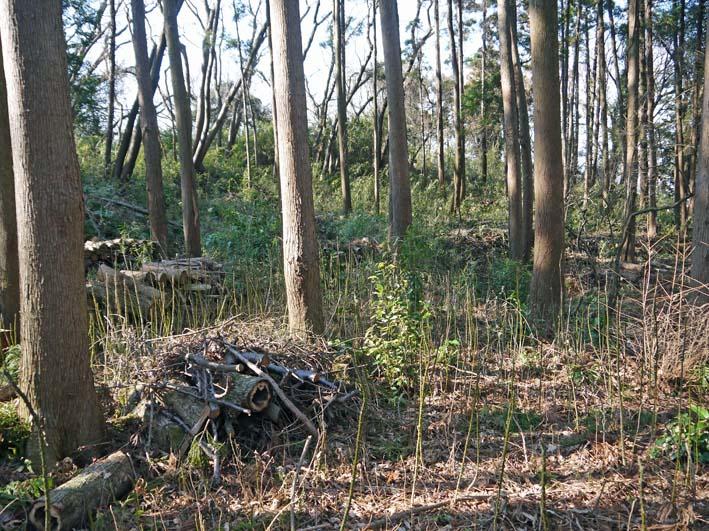 杉林のカラスザンショウの刈り取りほぼ終了1・30六国見山_c0014967_8394093.jpg