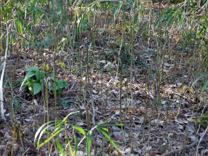 杉林のカラスザンショウの刈り取りほぼ終了1・30六国見山_c0014967_8422372.jpg
