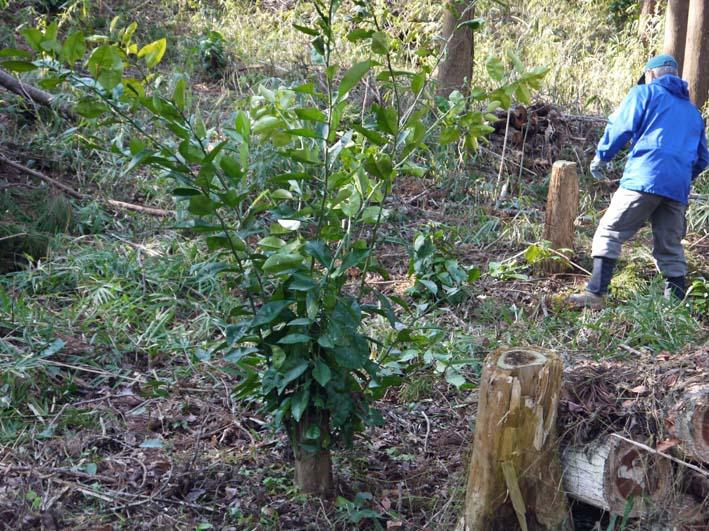 杉林のカラスザンショウの刈り取りほぼ終了1・30六国見山_c0014967_8434553.jpg